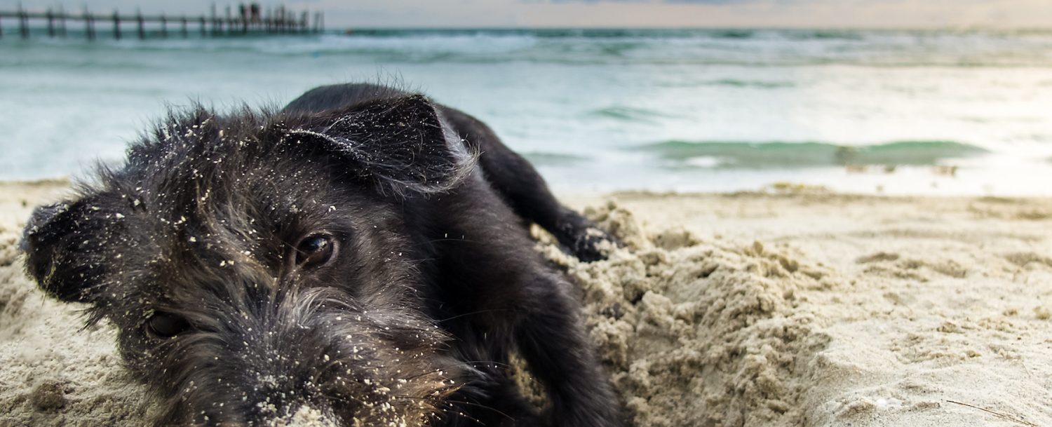 portrait mix breed of a black yorkshire terrier on the sea beach, playing by dig sand with perfect twilight sky